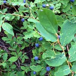 Huckleberries ready to pick